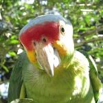papuga-meksyk-gwatemala-belize
