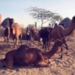 wielblady-safari-rajastan-goa-wyprawa-dzikababa