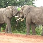 safari-tanzania-kenia-afryka-zanzibar-dzikababa