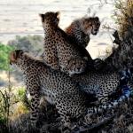 gepard-safari-afryka-serengeti-zanzibar-dzikababa